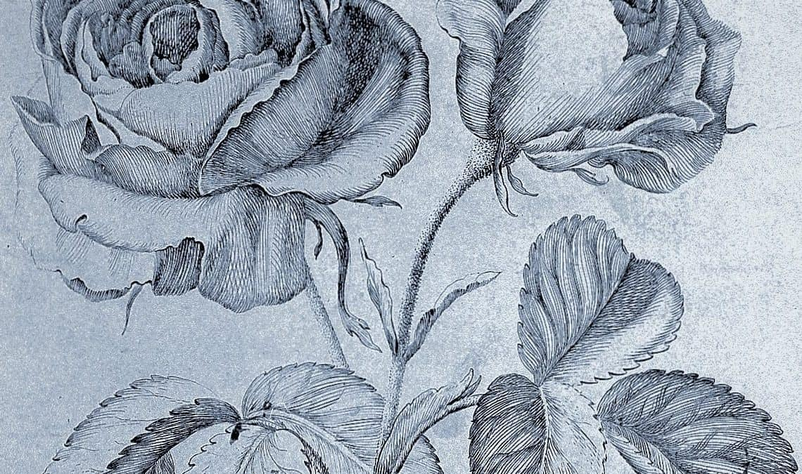 Drawing of roses by Robert Variae
