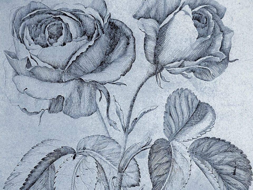Drawing of roses by Robert Variae
