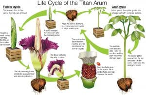 Life Cycle of the Titan Arum