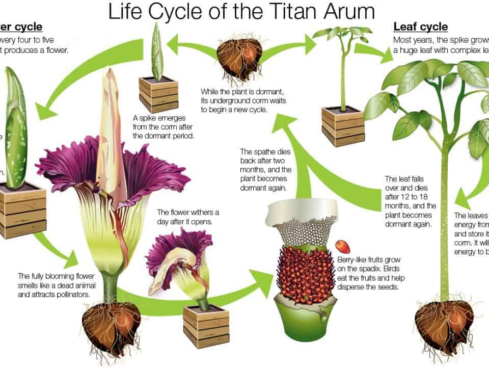 Life Cycle of the Titan Arum